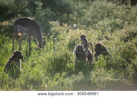 Small Group Of Chacma Baboon And Impala In Kruger National Park, South Africa ; Specie Papio Ursinus