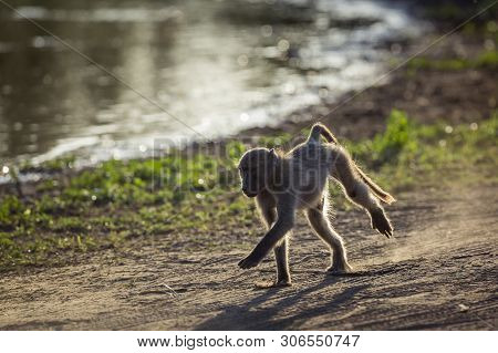 Chacma Baboon Running In Kruger National Park, South Africa ; Specie Papio Ursinus Family Of Cercopi