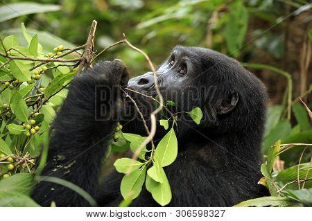 Mountain Gorilla (gorilla Beringei Beringei) Feeding On Berries. Bwindi Impenetrable National Park,