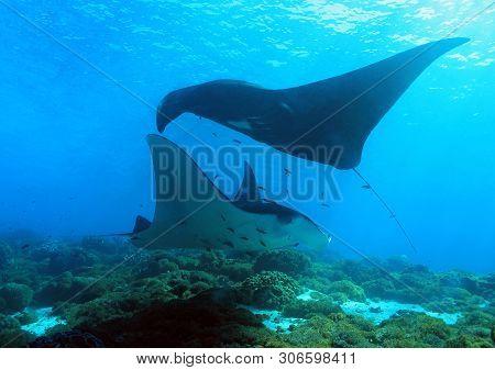 Mantas, Manta Rays, Manta, Manta Ray, Reef Manta, Black Manta, Manta Alfredi, Manta Dive, Manta Divi