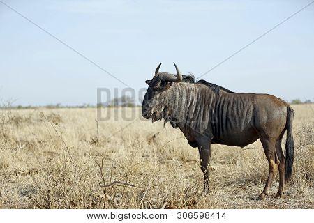 Blue Wildebeest (connochaetes Taurinus) On The Savannah. Satara, Kruger Park, South Africa