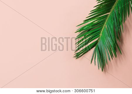 Beautiful Feathery Green Palm Leaf On Light Pink Wall Background. Summer Tropical Creative Concept.