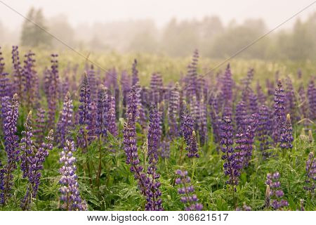 A Blue Lupine Blooming Under Summer Rain .