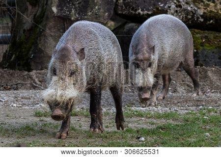 Bornean Bearded Pig, Image & Photo (Free Trial) | Bigstock