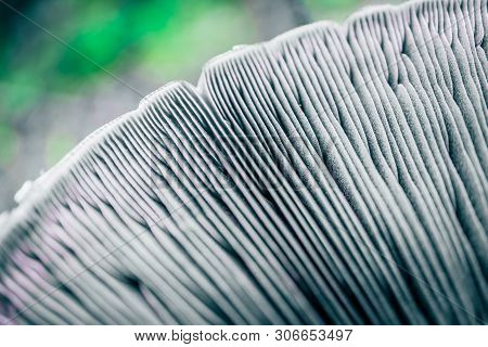 Mushroom Cap Membranes Backdrop. Abstract Floral Background. Edible Russula Mushroom Hat, Blurred Gr