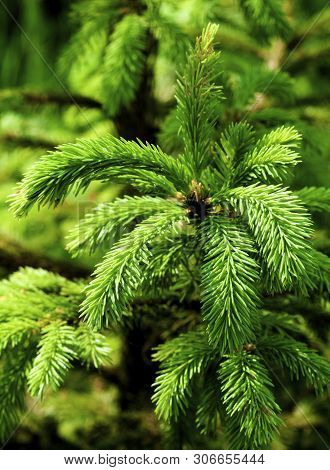 Young Green Spruce Shoots With Cones Closeup On Natural Environment Background Outdoors. Focus On Fo
