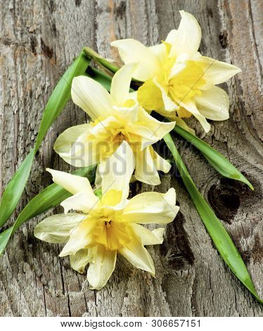 Spring Terry Daffodils With Green Leafs On Rustic Wooden Background. Focus In Foreground