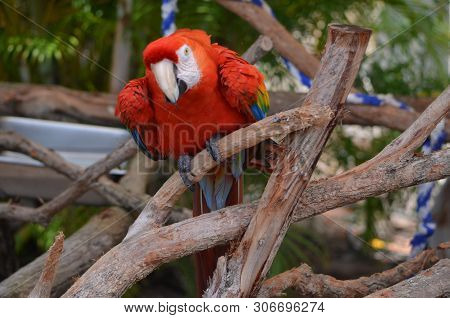 Portrait Of A Scarlet Macaw Roosting In A Southeast Florida Aviary.