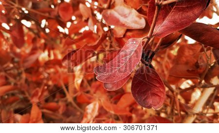 Bright Red Leaves Of A Red Copper Beech In Spring, Leaves, Branch, Glowing Edges Of Red Leaves On Re