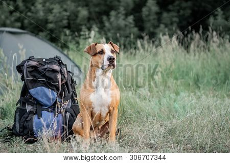 Backpack Hiking With A Dog: Staffordshire Terrier Sits Next To A Tourist Backpack At A Camping Site.