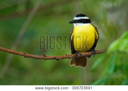 Boat-billed Flycatcher - Megarynchus Pitangua  Passerine Bird, Large Tyrant Flycatcher, The Only Mem