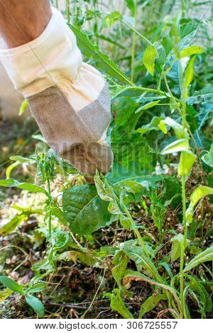Closeup Of A Man With Protective Gloves Picking Weed During Hot Summer Day