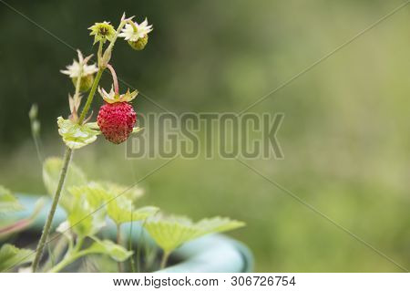 Ripe Red Fruits Of Strawberry Plant. Red Fragaria Or Wild Strawberries, Wild Strawberry. Growing Org