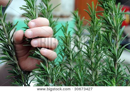 kid hand holds a rosemary plant in the garden