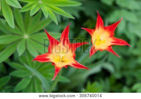 Beautiful red Schrenck's tulip or Tulipa schrenkii red Schrenck's tulip blooming