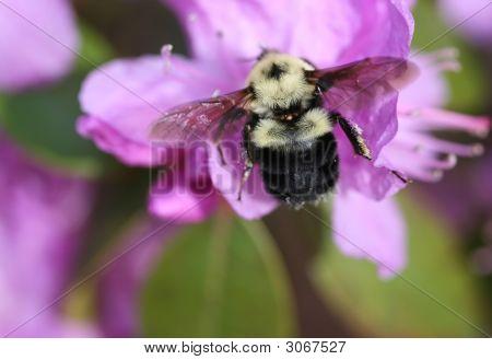 Bumblebee_