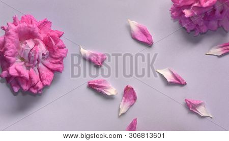 pink rose  flower beginning to wilt and petals on colored background poster