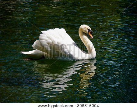 Swan Floating On The Waterin Vorontsovsky Park