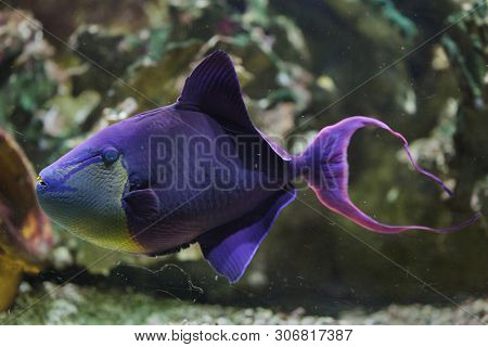 Red-toothed triggerfish (Odonus niger). Marine fish.