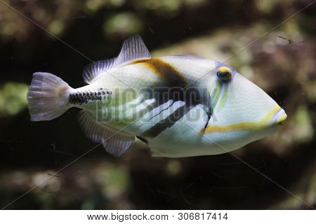 Lagoon triggerfish (Rhinecanthus aculeatus), also known as the Picasso triggerfish.