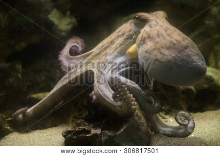 Common octopus (Octopus vulgaris), also known as the octopus.