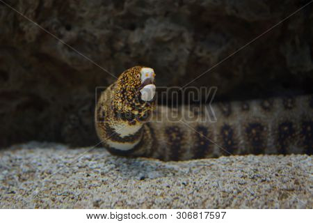 Snowflake moray (Echidna nebulosa), also known as the clouded moray.