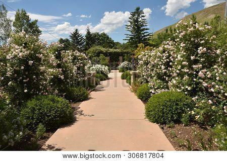 Lush Blooming Rose Garden In Summer Season