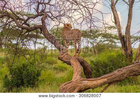 Cheetah Perched On A Dead Tree In Samburu Park In Central Kenya
