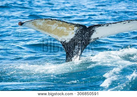 Detail of humpback (Megaptera novaeangliae) fin tail, Iceland. Whale watching is one of the most popular activity in iceland.