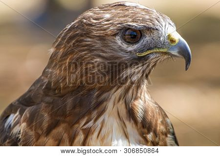 raptor eagle, diurnal bird of prey with beautiful plumage and yellow beak poster