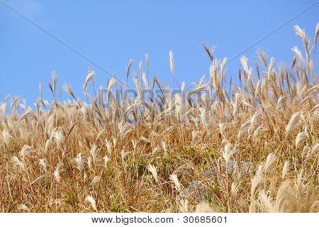 silvergrass and blue sky