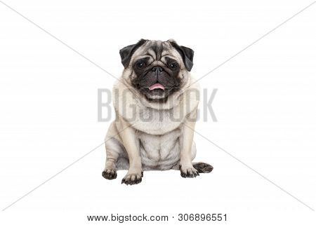 Adorable Cute Smiling Pug Puppy Dog Sitting Down With Tongue Out, Isolated On White Background