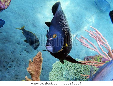 Pomacanthus Paru, Or The French Angelfish Is A Large Angelfish Of The Family Pomacanthidae, Found In
