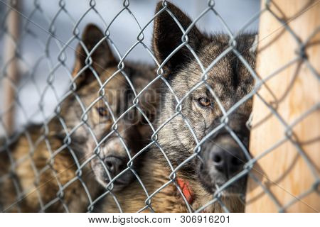 Caged husky dogs. This robust breed is bred for harsh weather and is a tough working sled dog. In Svalbard, a Norwegian archipelago between mainland Norway and the North Pole