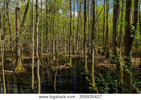 Floodplain Forest In Congaree National Park In South Carolina, United States
