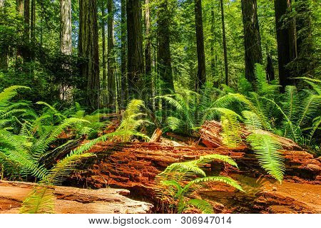 Prairie Creek Trail In Redwood National Park In California, United States