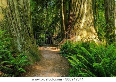 Simpson-reed Grove In Redwood National Park In California, United States