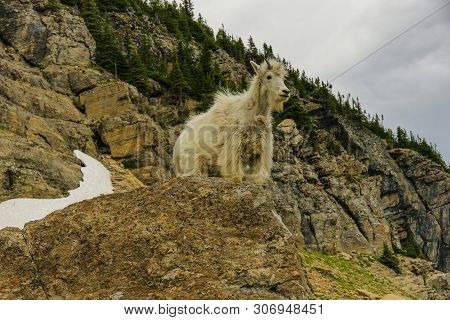 Mountain Goats In Glacier National Park In Montana, United States