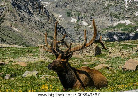 Elk In Rocky Mountain National Park In Colorado, United States