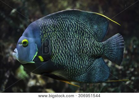 French angelfish (Pomacanthus paru). Tropical fish.