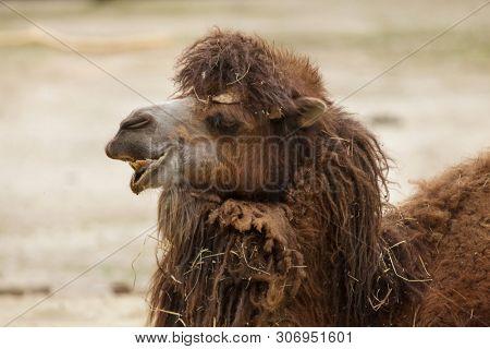 Bactrian camel (Camelus bactrianus). Domesticated animal.