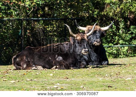 Heck Cattle, Bos Primigenius Taurus, Claimed To Resemble The Extinct Aurochs.