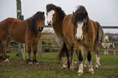 Three bay coloured, Welsh ponies standing together in their field poster