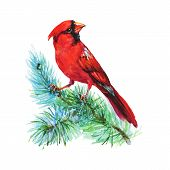 Watercolor cardinal on the branch. Hand drawn bird on white background. Painting ornithological illustration poster
