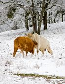 Two Cows Fighting in a Field Covered with Snow poster