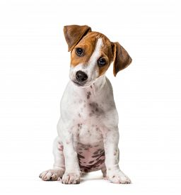Two months old puppy Jack Russell terrier dog sitting against white background