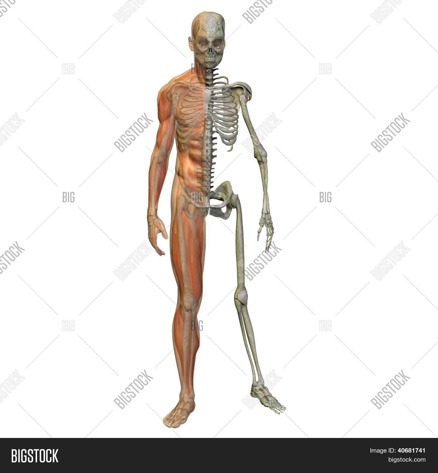 3d Human Male Anatomy Image Photo Free Trial Bigstock