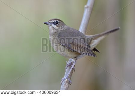 Happy Fat Brown Bird Perching On Wooden Branch Look Up Sky And Tail High Wagging, Female Siberian Ru