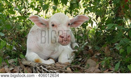 Water Buffalo Albino Resting In Greenery. Small Funny Unique And Special Albino Baby Bull Grazing In