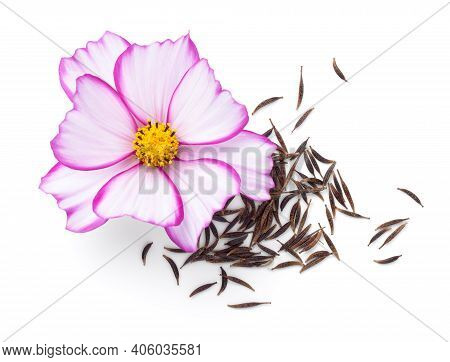 Seeds Of Cosmos Flowers With Fresh Cosmos Flower (cosmos Bipinnatus) Isolated On White Background. T